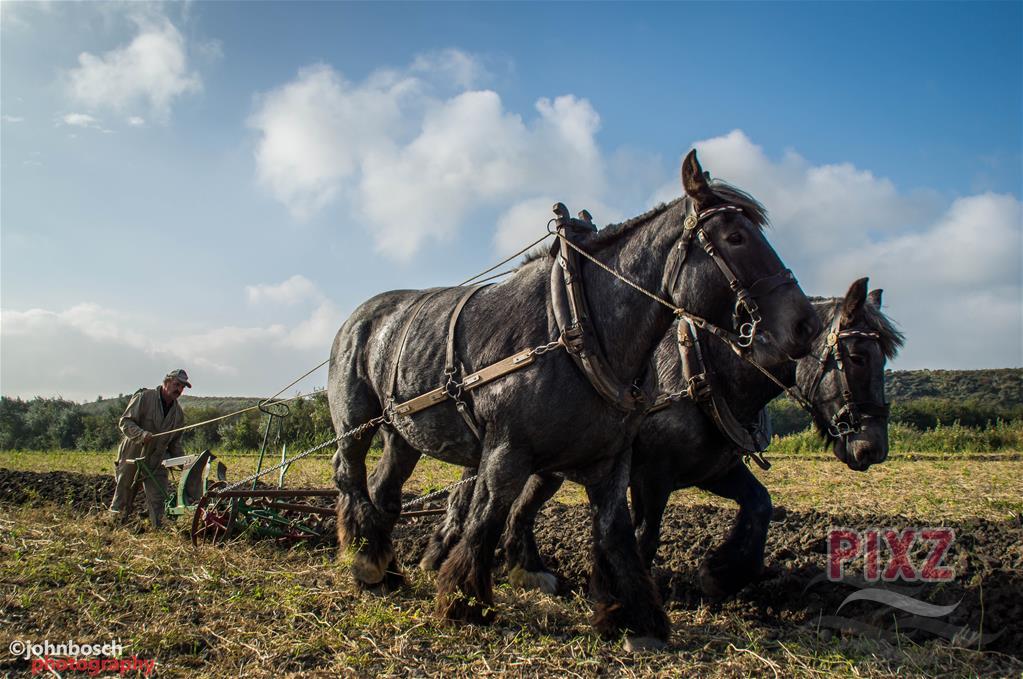 werkend-trekpaard-john-bosch