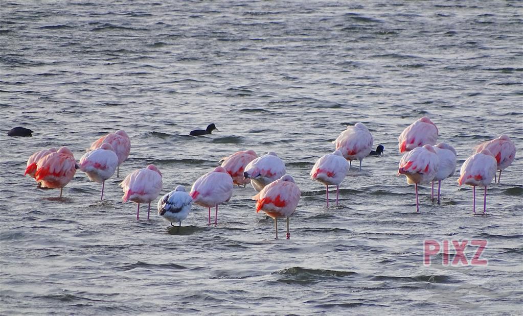 #PIXZ Riet de Ronde | Flamingo's in het Grevelingenmeer