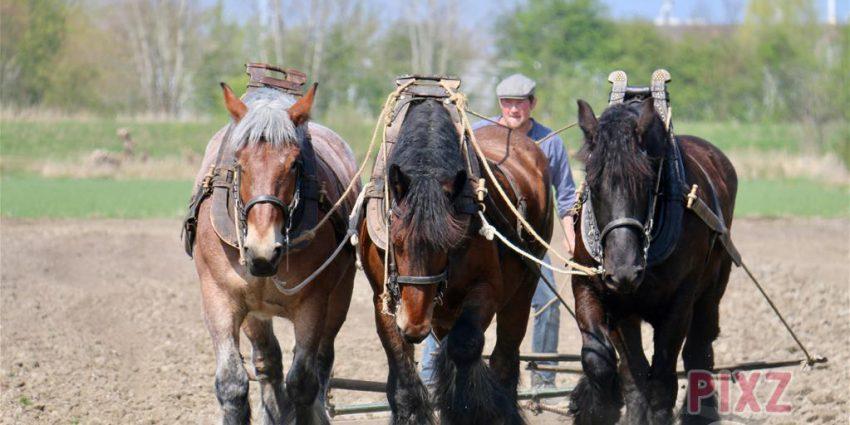 Trekpaarden Zeeland Jaccueline Hoogvliet