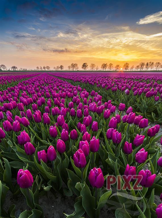 PIXZ Zeeland foto van de week 'Tulpenveld' Heinkenszand